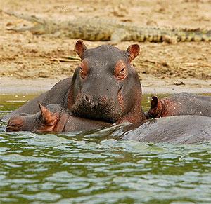 Hippos at Queen Elizabeth