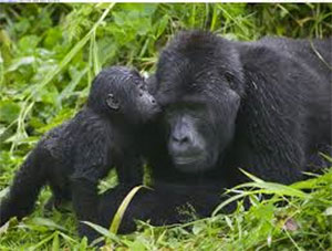 Gorilla's in Bwindi Impenetrable Forest Murchison Falls National Park